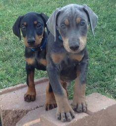 Doberman puppies SO gorgeous Doberman Colors, Doberman Love, Doberman Puppies, Animals And Pets, Baby Animals, Cute Animals, Baby Puppies, Dogs And Puppies, Doberman Pinscher
