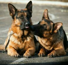 Love them . our german shephard saved my life when i was a child. 'Smokey' he was my hero :)