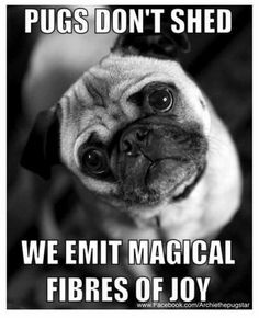 Funny Animal Memes, Funny Dogs, Cute Dogs, Funny Animals, Cute Animals, Animals Dog, Dog Memes, Pugs And Kisses, Pug Dogs
