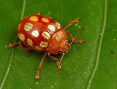 This leaf beetle (Stilodes sedecimmaculata) is found only in the Guyana Shield — a geological formation that underlies Guyana, Suriname and French Guiana, as well as parts of Colombia, Venezuela and Brazil. Reptiles, Amphibians, Leaf Beetle, Beetle Insect, Cool Insects, Bugs And Insects, Weird Insects, Beautiful Bugs, Beautiful Butterflies