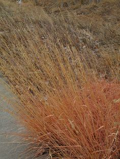 Apricot side-oats grama--winter color / ATTRACTS: Meadowlarks.  We use for nesting.  Plant in 4X4 patches or in meadows. Place a 6 ft high tray feeder inside patch with pedestal birdbath.  Plant a few shrubs in a group in a wild corner nearby.