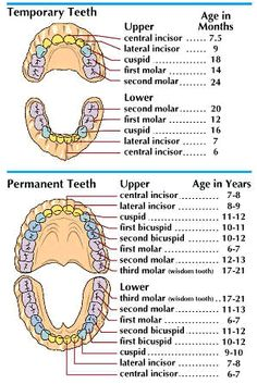 23 incredibly helpful diagrams for moms to be for the future artthe chart at the top shows the teeth of a child 2 to 2 ccuart Image collections