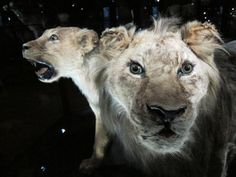 10 Big Cats That Have Gone Extinct in Modern Times: Recently Extinct Big Cat #5 - The Cape Lion