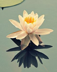 waterlily on glass