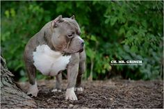 Everything You Need to Know About The American Bully | The Definitive List - BULLY KING Magazine