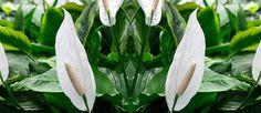 Fredslilje (Spathiphyllum) På topp over planter som renser luften for formaldehyd. Tilfører også luftfuktighet. Jorden holdes jevnt fuktig i vekstperioden. Trives best i halvskygge.