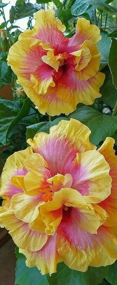 Your hibiscus will need daily watering in warm weather. But once the weather cools, your hibiscus needs far less water, and too much water can kill it. In the winter, water your hibiscus only when the soil is dry to the touch. Hibiscus Flowers, Exotic Flowers, Tropical Flowers, Colorful Flowers, Yellow Hibiscus, Pink Yellow, Hibiscus Garden, Lilies Flowers, Hawaiian Flowers