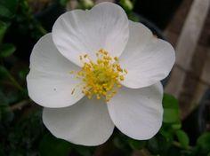 Cherokee Rose, Georgia state flower
