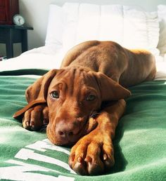 Are you looking for vizsla dog names? Here is a collection of funny and cute vizsla male/female dog name ideas. Little Puppies, Cute Puppies, Cute Dogs, Dogs And Puppies, Doggies, Beautiful Dogs, Animals Beautiful, Rat Terrier, Bull Terriers