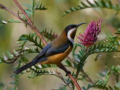 The Eastern Spinebill (Acanthorhynchus tenuirostris) is a species of honeyeater found in south-eastern Australia in forest and woodland areas, as well as gardens in urban areas of Sydney and Melbourne. Small Birds, Colorful Birds, Pretty Birds, Beautiful Birds, Bird Wings, Australian Birds, Owl, Horse Pictures, Belleza Natural