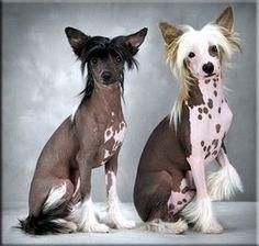Cão de Crista Chinês - raças oriundas da china