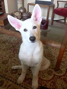 oh. my. goodness. THOSE EARS!-GSD like an Easter bunny!!!
