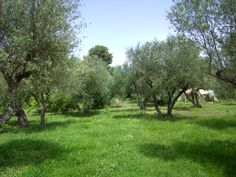 Our Olive Grove, Krestena ilias, Greece Kingston Upon Thames, Greek Restaurants, Olive Tree, Countryside, The Good Place, Greece, Old Things, Landscape, Olive Oil