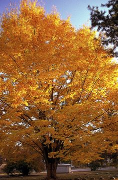 Sugar maple in autumn