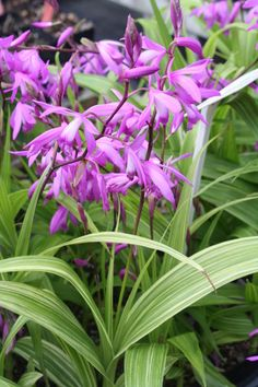 "Bletilla striata 'Gotemba Stripes' (Gotemba Stripes Hardy Orchid) - woodland shade garden perennials, part, sun, moist or dry (once established), 24"", 6a to 9b"