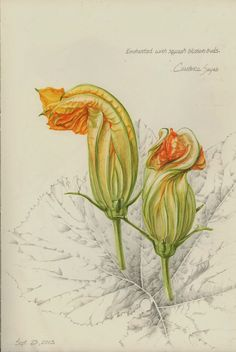 (squash blossom buds by Constance Sayas, watercolor and graphite)   After completing the Foundational Certificate in Botanical Art and Il...