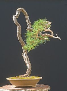 Pine Bonsai Gallery