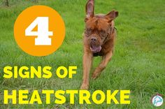 4 Signs of Heatstroke! Keep your pup cool and safe for the summer #petcare #pethealth #dog #summer
