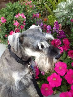 A darling Mini schnauzer stopping on his walk to smell the flowers . Zack