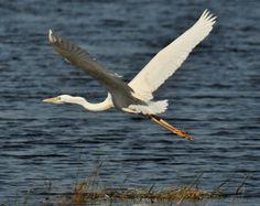 new zealand birds in flight - Google Search