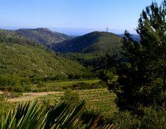 Vinyes de Torrelletes a Castellet i la Gornal. Maig 2013. Foto d'Àngela Llop.