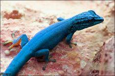 Male Electric Blue Gecko or William's Dwarf Gecko (Lygodactylus williamsi, Gekon modry) from ZOO Salzburg, Austria by woxys on Deviant Art