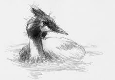 Grebe, Artist Sean Briggs producing a sketch a day, prints available at https://www.etsy.com/uk/shop/SketchyLife ##grebehttp://etsy.me/1rARc0J #art #drawing