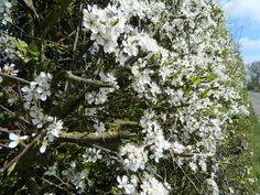 Hawthorn hedge in bloom. Look for disease-resistant cultivar Crataegus viridis 'Winter King,' to prevent harboring cedar-apple rust. Hawthorn Tree, Cottage Garden, Horse Chestnut Trees, Hedgerow, Hedges, Dream Garden, Farmhouse Garden, Farm Gardens, Landscaping Plants