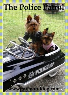Cop yorkie