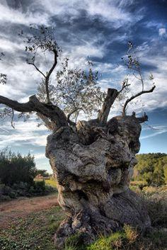 Sant Mateu Olive Trees