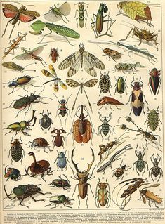 Vintage Insect Print, French Insect Chart Insect Illustration Biology Poster Wall Art Home Decor Art Antique, Antique Prints, Vintage Prints, Decor Vintage, Vintage Canvas, Art And Illustration, Botanical Illustration, Antique Illustration, Art Altéré
