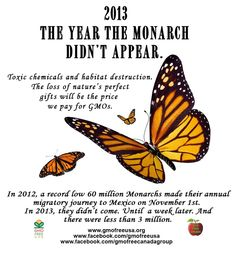 Thanks to GMOs and the toxic chemicals associated with their use, the Monarch butterfly has suffered a significant loss of habitat. It does not look good for our precious Monarch butterflies. Some experts fear that their spectacular migration may be near collapse. https://www.facebook.com/photo.php?fbid=667265196647280&set=a.468695639837571.108816.402058139834655&type=1&theater