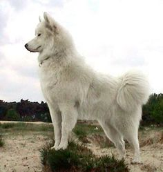 Samoyed dog ❤