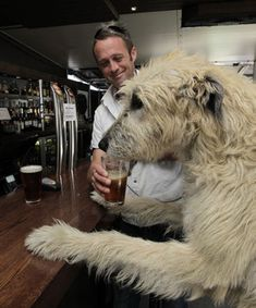 HERO HOUND: Guinness the dog enjoys a beer at the Carlton with owner Sean Scully after the news that Guinness is to be recognised for his bravery. Huge Dogs, Giant Dogs, Best Dog Food, Best Dogs, Irish Wolfhound Dogs, Irish Terrier, Buy A Dog, Dogs And Puppies, Doggies