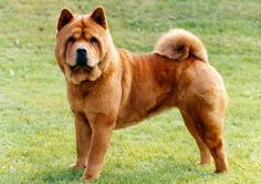 Chow Chow, smooth-haired