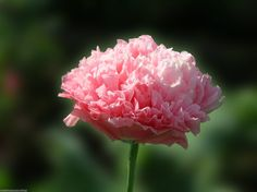 Antique Rose Poppy Seeds (Beautiful Pink Color Poppies)
