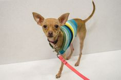 Three-legged chihuahua Looking for a family to adopt her--Read info and share with others