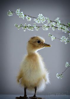 cute little duck and springtime