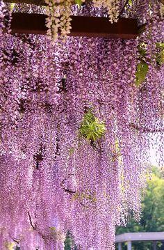 pink rain (wisteria)