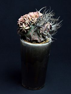 大鳳玉モンスト Astrophytum capricorne v. crassispinum f. monst  w170 x h340mm