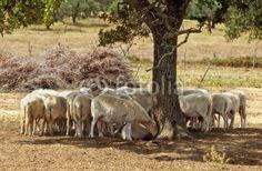 Gregge di pecore all'ombra - Flock of sheep in the shade © Pietro D'Antonio