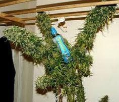57 Best Originalhaze images in 2015 | Sweet, spicy, Cannabis
