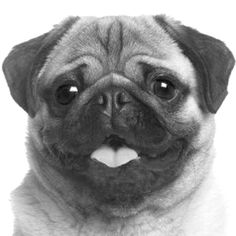 Wow! This is a really good drawing of a pug. I wonder if it was on devianart.