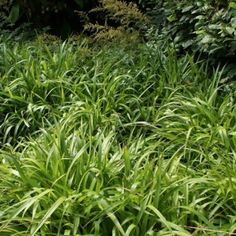 Grote Veldbies (Luzula sylvatica) C2 Ornamental Grasses, Den, Herbs, Flowers, Herb, Royal Icing Flowers, Flower, Florals, Floral