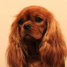 Cavalier King Charles Spaniel...I am looking for THIS girl for my Willie.