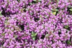 Looking to mix it up with some new landscaping ideas this season? These low-growing perennials and ground cover plants include good choices for both sunny and shady locations in your garden. Ground Cover Flowers, Ground Cover Plants, Best Perennials, Flowers Perennials, Purple Perennials, Light Pink Flowers, Gold Flowers, Shade Garden, Garden Plants