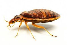 14 Best Bug Free Images Bed Bugs Bed Bug Control Rid Of