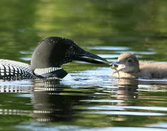 Great Northern Loon (Gavia immer), Algonquin Park, Ontario, Canada