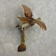 Острый хвостатых тетерев птица Крепление для продажи #17379 @ Таксидермия магазин