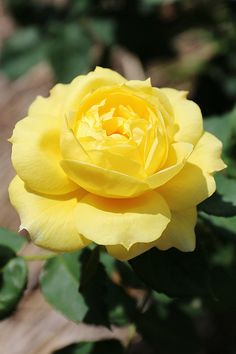 Yellow roses pinterest yellow roses life photo and flowers yellow rose mightylinksfo